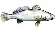 Black-Jewfish-fishing-tours