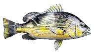 Golden-Snapper-fishing-tours