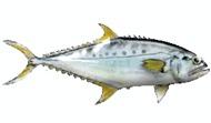 Queenfish-fishing-tours